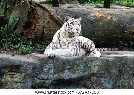 White tiger cautiously looking into the far  - stock photo