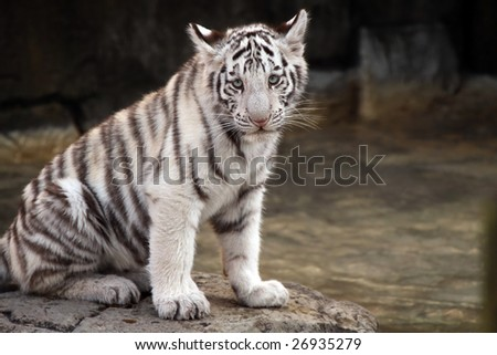 White Tiger Cub against a blurred background. - stock photo