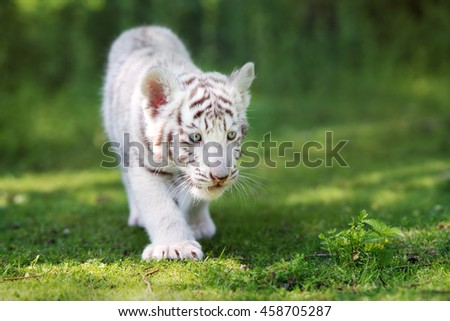 white tiger cub walking on grass - stock photo