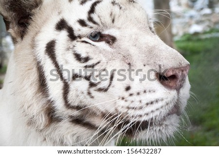 white tiger head close-up  - stock photo