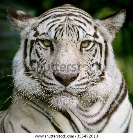 White Tiger head focus at face and eyes  - stock photo