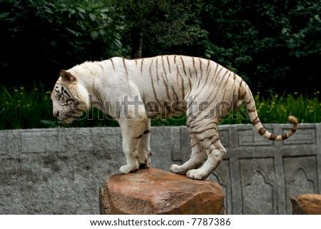 white tiger in balance - stock photo