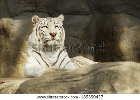 White Tiger in Thailand. - stock photo