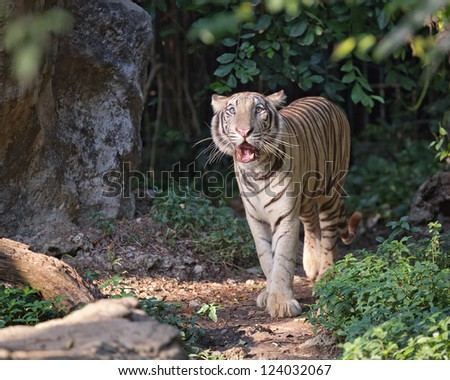 White tiger in the zoo. - stock photo