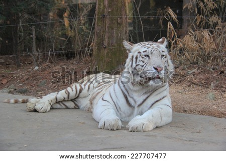 White tiger is laying down on the street. - stock photo