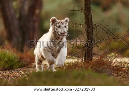 white tiger is running - stock photo