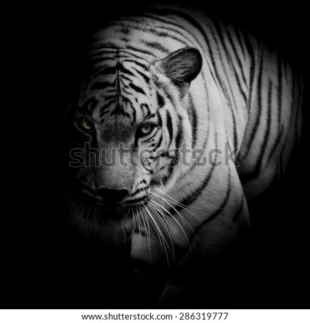 White tiger isolated on black background - stock photo