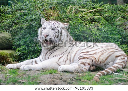 White Tiger lays down with mouth open - stock photo