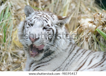 White tiger licking open mouth - stock photo