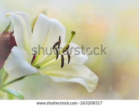 White tiger lily shallow depth of field selective focus - stock photo