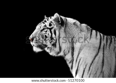 White tiger on a black background - stock photo