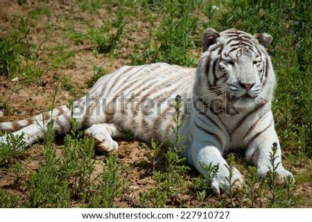 white tiger on green grass  - stock photo
