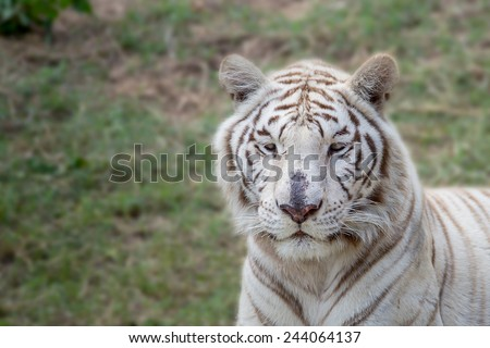 White tiger on green grass. - stock photo