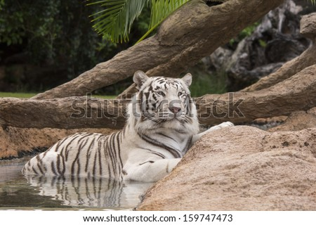 White tiger relaxing  in small pool of water - stock photo