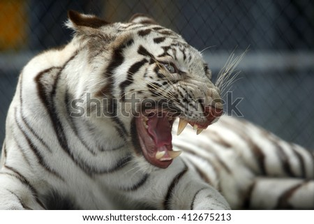 white tiger ,selective focus - stock photo
