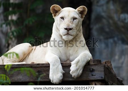 White Tiger, soft focus - stock photo
