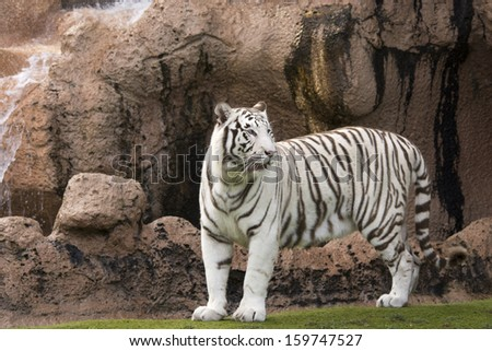 White tiger standing infront of cliff  - stock photo