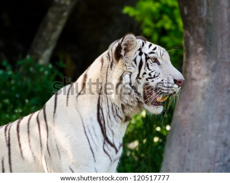 White Tiger. stare with their curiosity. 3:4 - stock photo