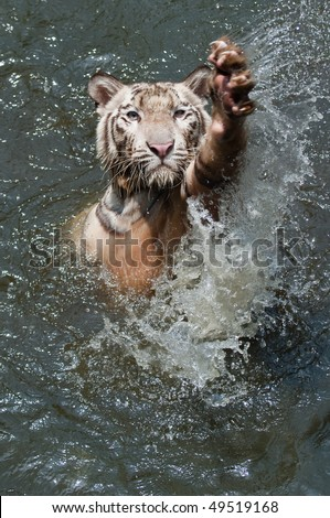 white tiger waving a greeting with his claw - stock photo