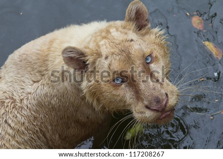 Tiger Eat Meat Eat Meat Stock Photo