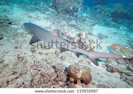 White-tip reef shark - stock photo