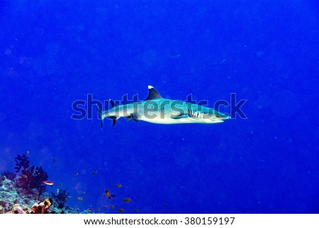 white tip reef shark jaws close up portrait while looking at you while diving in maldives - stock photo