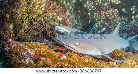 White tip reef shark meets Lobster - stock photo