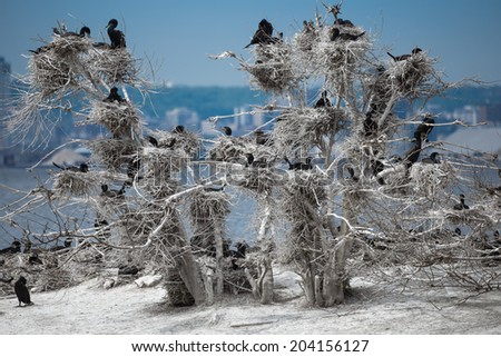 white tree occupied by many black looking duck birds sitting in their nests against blue color lake Ontario and city background on sunny warm day - stock photo