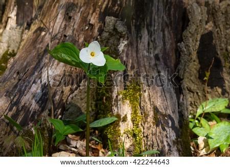 White trillium flower against a tree stump - stock photo