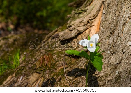 White trillium flower and maple seedling - stock photo