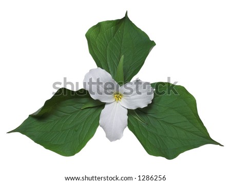 White trillium, the floral emblem of Ontario (path included) - stock photo