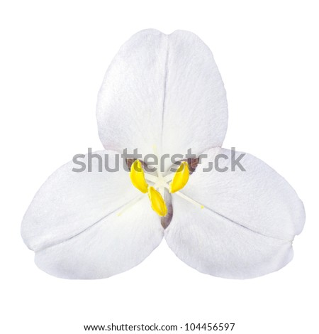 White Trillium Wild Flower Isolated on White Background - stock photo