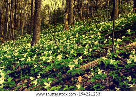 White Trilliums growing on a wooded Hillside.  Filtered for an aged Retro Look.  Trillium grandiflorum is the official emblem of the Province of Ontario and the State Wildflower of Ohio.  - stock photo