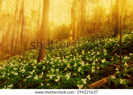 White Trilliums growing on a wooded Hillside on a misty morning. Trillium grandiflorum is the official emblem of the Province of Ontario and the State Wildflower of Ohio.  - stock photo