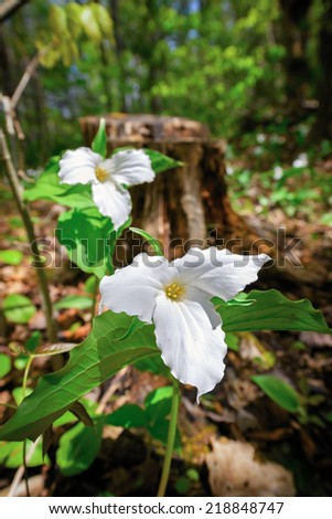White Trilliums growing on the forest floor.  Trillium grandiflorum is the official emblem of the Province of Ontario and the State Wildflower of Ohio.  - stock photo
