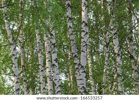 White trunks and green leaves of birches - stock photo