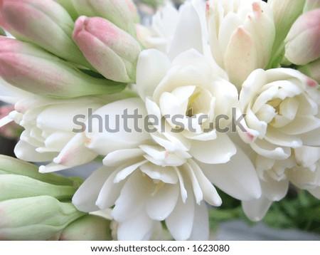 White tuberose close view - stock photo