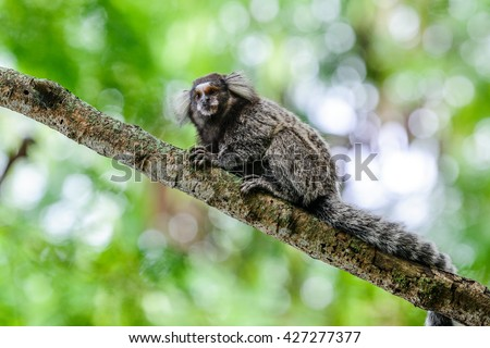 White-tufted-ear Marmoset in Pista Claudio Coutinho next to the Sugar Loaf in Urca, Rio de Janeiro, Brazil - stock photo