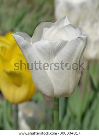 White tulip on green background - stock photo