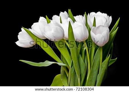 white tulips isolated on black - stock photo