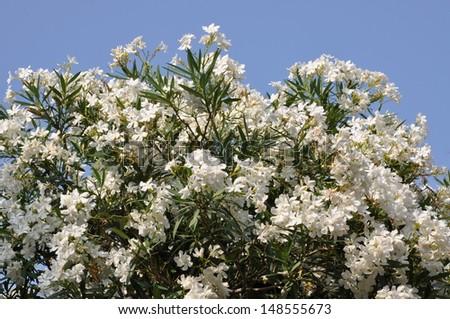 White vine flower against the blue sky - stock photo