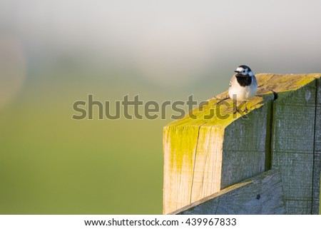 white wagtail on fence in the morning sun - stock photo