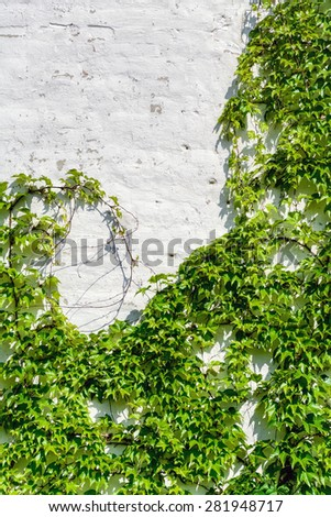 White Wall Covered With a Grape Ivy - stock photo