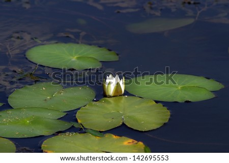 white water lilies in a pond in summer - stock photo