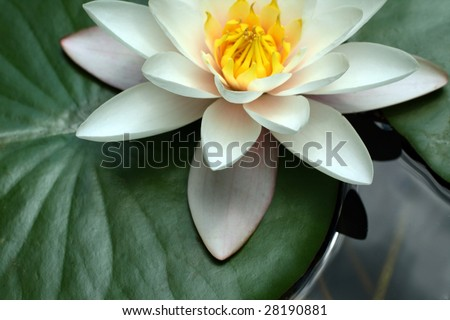 White water lily - stock photo