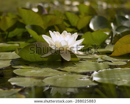 white water lily blooming in the lake - stock photo