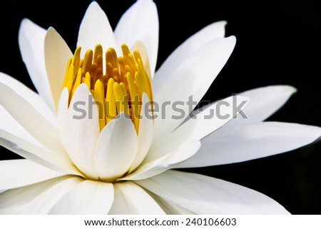 White water lily closeup in black background - stock photo