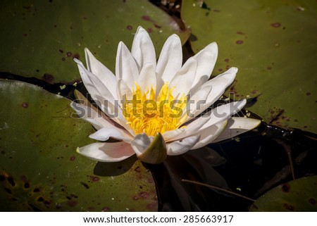 white water lily flower floating on a pond - stock photo