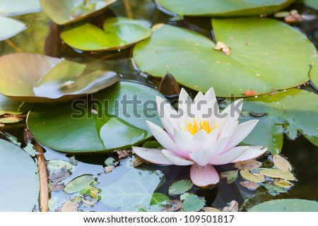 White water lily flower with yellow Stamens (Nymphae pygmaea) in bloom and close up surrounded by big green leaves floating on the water - stock photo