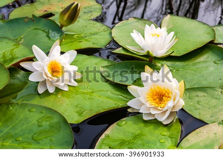 White water lily flowers with big green leaves - stock photo